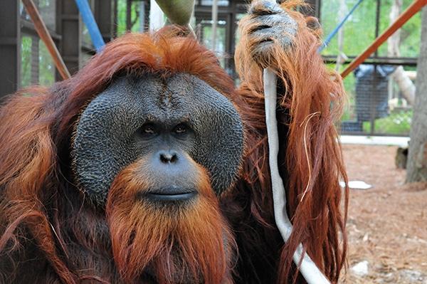 orangutan-stick
