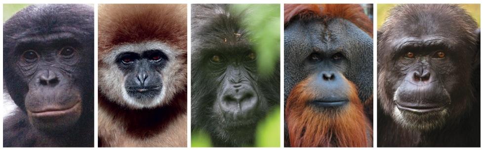apes-bw