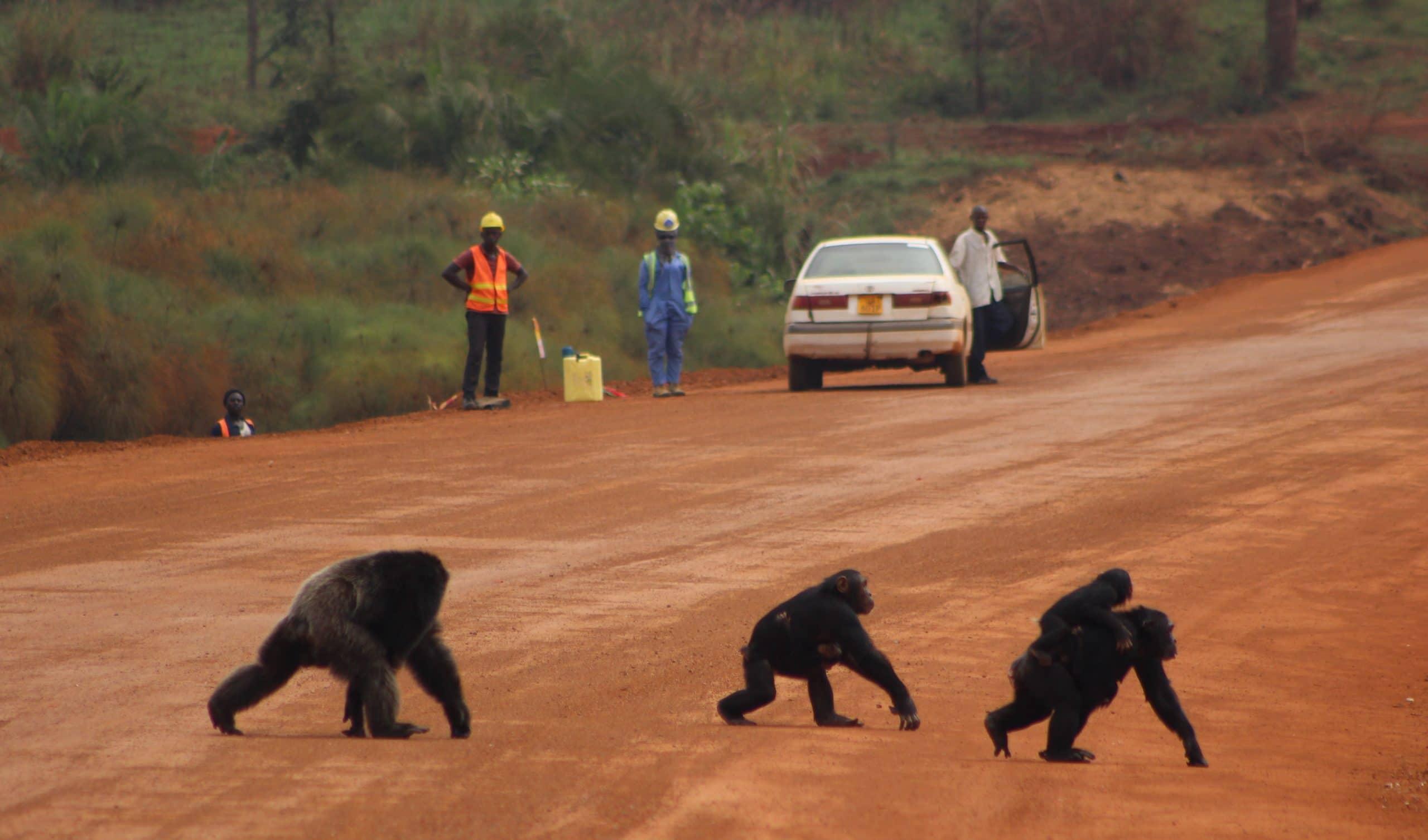 2. Chimp road-cross Bulindi Uganda (Photo - Jacqueline Rohen)