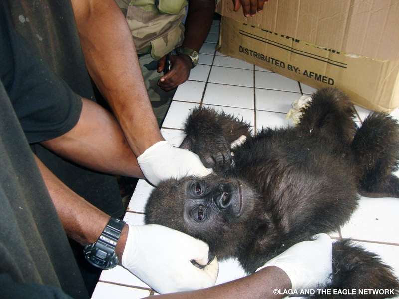 A baby gorilla whose arms are held down on a white tile table by human hands wearing medical gloves