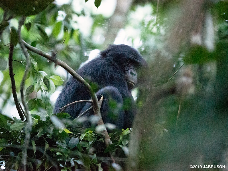 A bonobo crouches in a tree at dawn