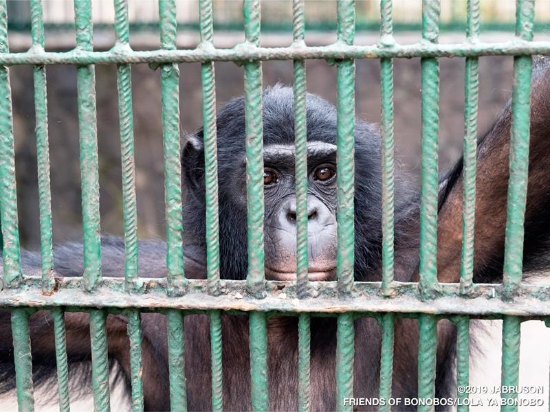 A bonobo looks at the camera through the bars of a large green cage