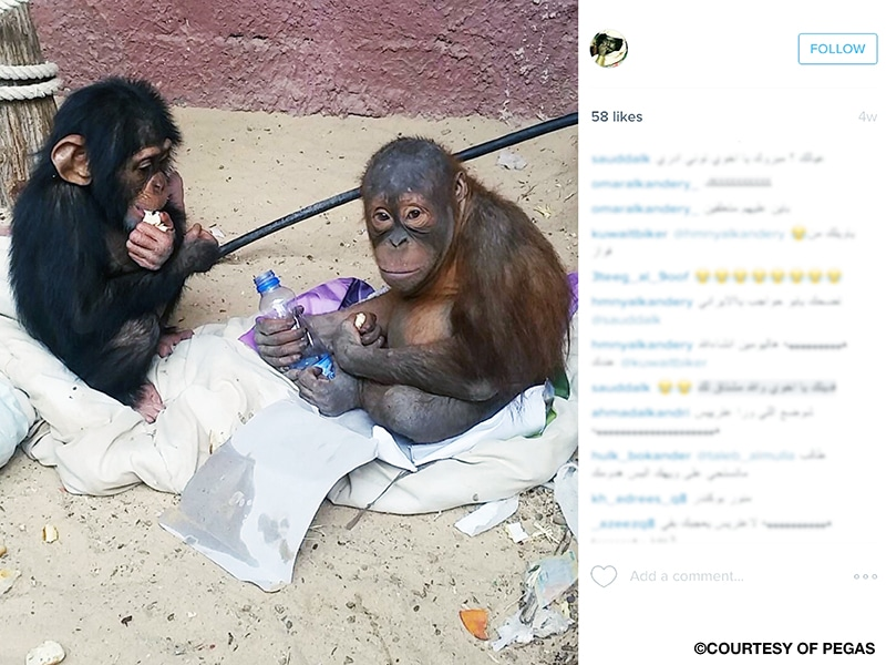A screenshot of an Instagram post showing comments and an image of a baby chimpanzee and a baby orangutan sitting on bedsheets over a dirty floor near a cement wall, and holding pieces of food and a plastic water bottle