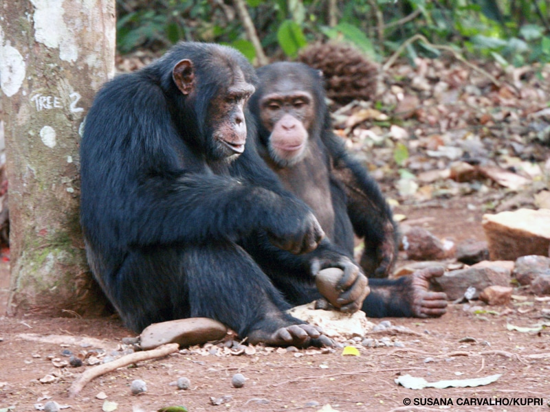 Two chimpanzees sitting against a tree and cracking oil palm nuts using a stone anvil and hammer