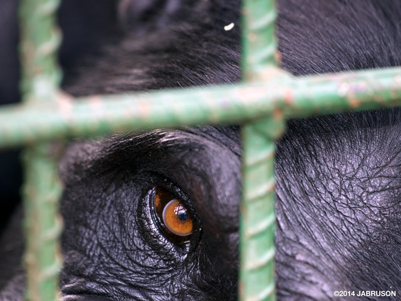 A close-up on the eye of a female eastern chimpanzee through a green cage