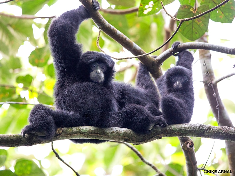 An adult siamang, a gibbon with black fur, sits on a tree branch with his baby, both extending their arms upward and grasping another branch above them