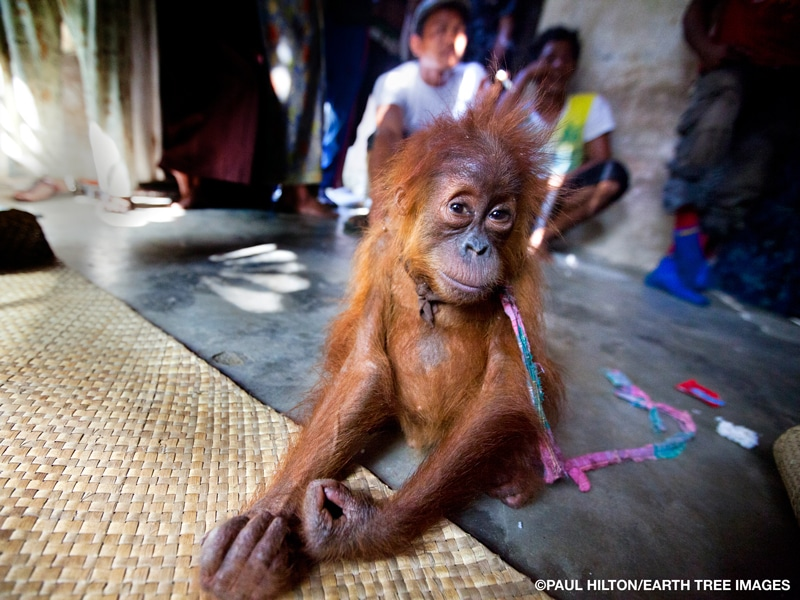 A young, underweight orangutan missing patches of fur sits on a cement floor with arms outstretched and a homemade leash around his neck, as people stand and sit behind him
