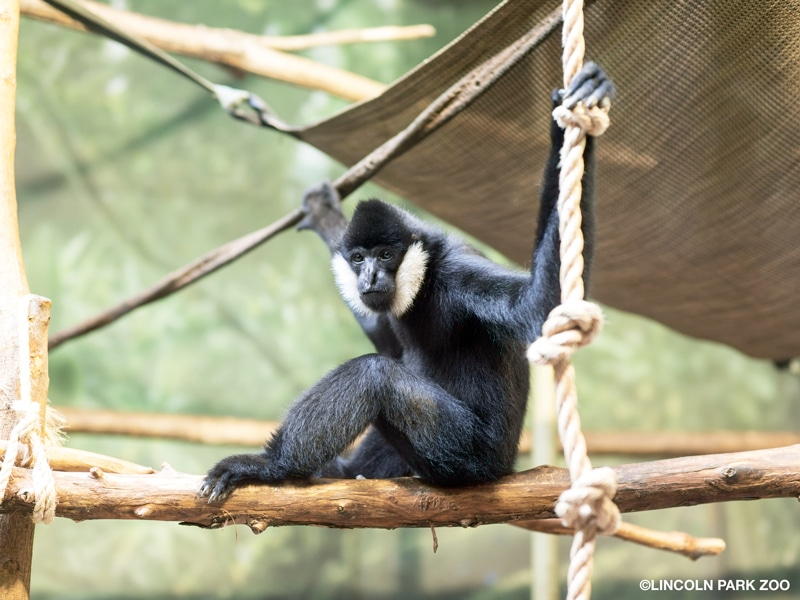 A gibbon with a black body and white cheeks sits on a branch and stretches his arms out to hold onto ropes