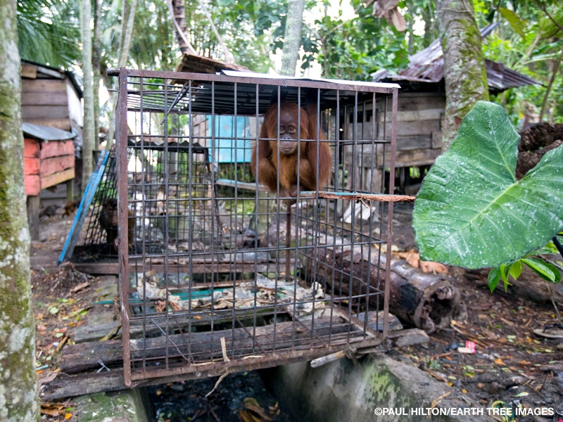 An orangutan squatting on a wood plank in a cage surrounded by trees, wood huts, and another cage in the background containing another animal