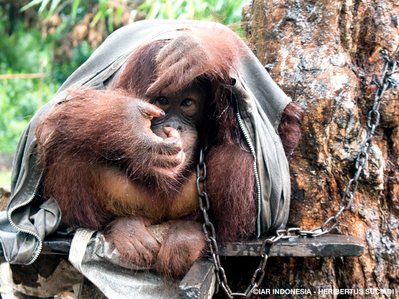 An orangutan chained to a tree sits hunched over on a piece of metal with a zippered sweatshirt draped over its body