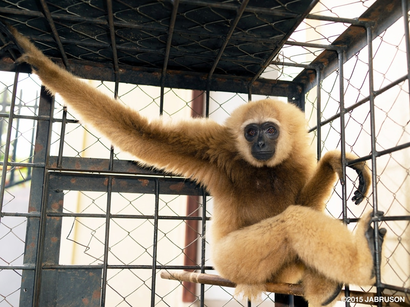 A Sumatran lar gibbon with beige fur resting on a pole and stretching out an arm in a cage