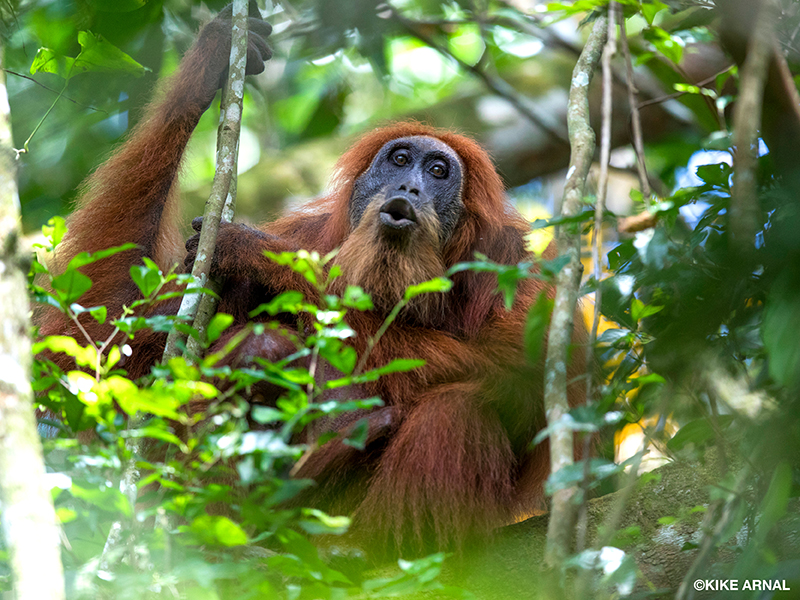 A Sumatran orangutan sits in a tree with her baby and calls into a forest