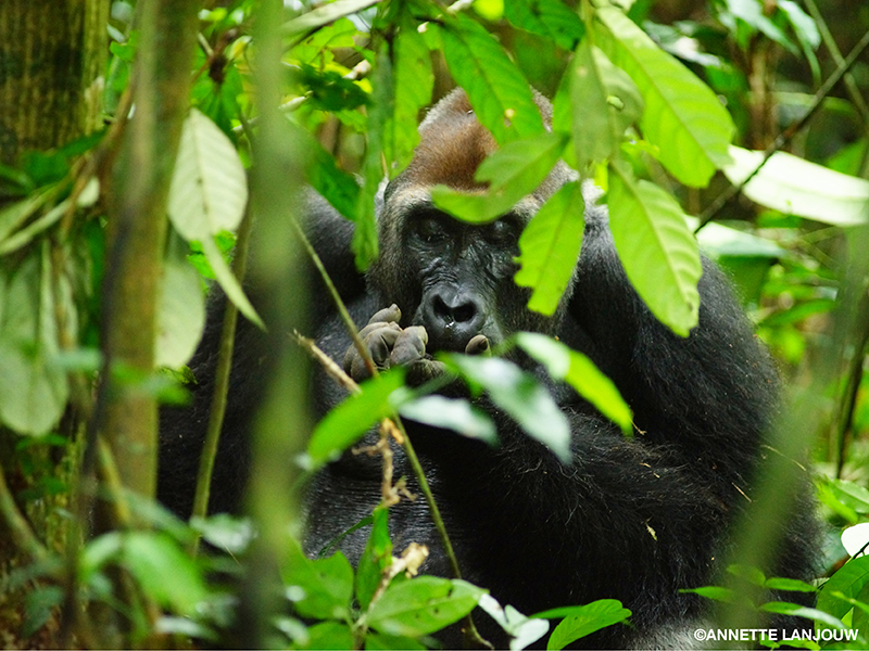 A western lowland gorilla eats in a forest